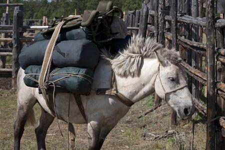 pesantezza: Yakut cavallo.