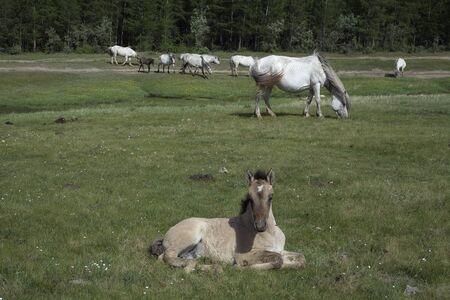 locality: Yakutia. The surroundings of the village Honu. Yakut horses.