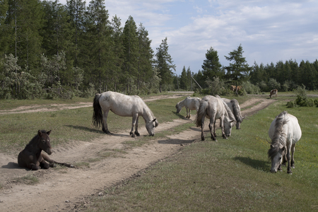surroundings: Yakutia. The surroundings of the village Honu. Yakut horses.