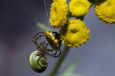 ploy: Yakutia, Indigirka, spider on tansy