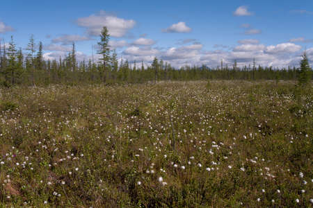 marge: Glade with cotton grass in the forest. Yakutia. Russia. Stock Photo