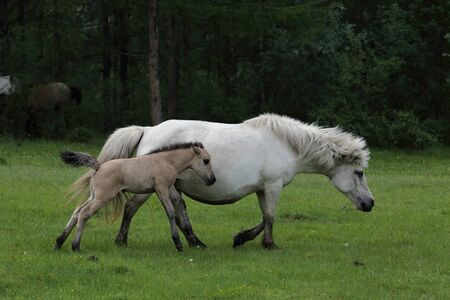mare and foal: Mare with foal walking on meadow. Yakutia. Russia. Stock Photo