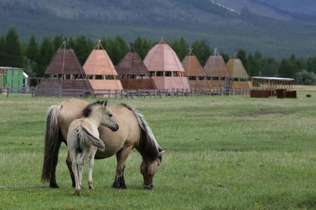 yegua: Yegua con el potro en el prado. Soluci�n de Honu. Yakutia. Rusia.
