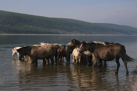 lena: Horses in the river on a hot day. Lena river. Yakutia. Russia.