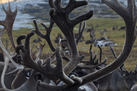 accumulation: The accumulation of antlers in the herd. Yakutia. Russia.