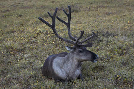 tundra: A lone reindeer lying on the tundra. Yakutia. Russia.