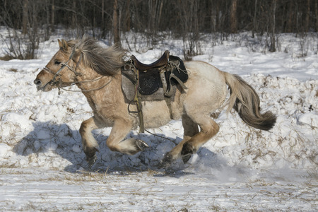 escaped: Running white horse under saddle. Yakutia. Russia.