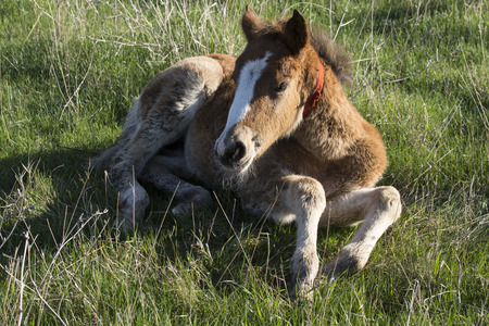 glades: A small brown foal lying on the grass. Bashkiria. Russia.