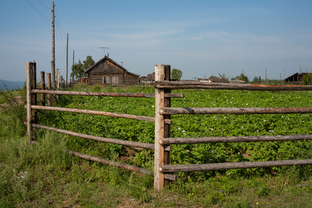 lena: A field of flowering potato behind a fence. Lena river. Yakutia.
