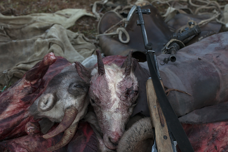 animal blood: Hunting booty. Two bighorn sheeps head and arms. Cherscy mountain, Yakutia. Russia. Stock Photo