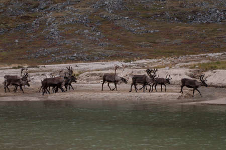 roving: A herd of deer walking on the lake. Ridge Chersky. Yakutia. Russia. Stock Photo