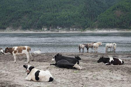 lena: Cows and horses on river bank. Lena river. Yakutia. Russia.