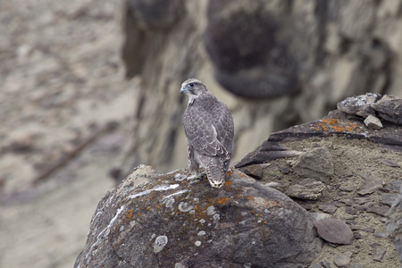 merlin: The young merlin sitting on a rock. Lena river. Yakutia. Russia. Stock Photo