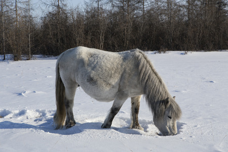 subsist: Horse feed produced from under the snow. Yakutia. Russia. Stock Photo