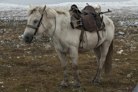 drowse: A horse with a gun under the seat. Yakutia. Russia.