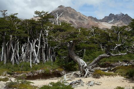sickly: Dry forest in the mountains of Patagonia. Patagonia. Argentina. Stock Photo