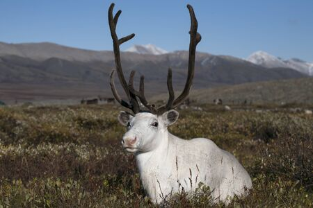 tundra: White deer lying in the tundra. Yakutia. Russia.