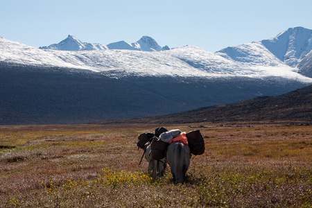 parting: Horse caravan with a cargo in the mountains. Ridge Cherskogo. Yakutia. Russia. Stock Photo