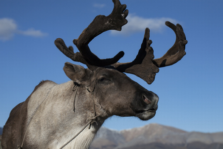 wearied: The figure of a deer on a background of blue sky. Yakutia. Russia.