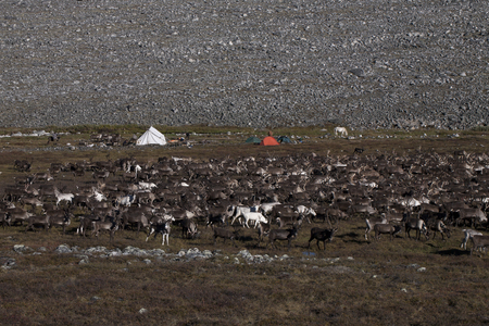 herd of deer: A herd of deer and reindeer herders camp. Ridge Cherskogo. Yakutia. Russia. Stock Photo