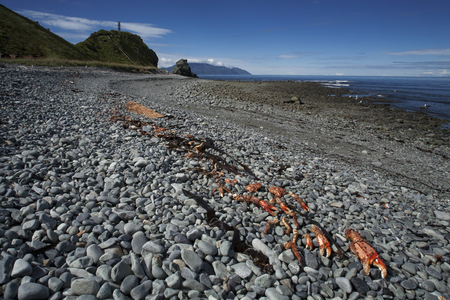 chitin: Crab shells thrown out by sea to the shore. The Sea of Okhotsk. Peninsula Kony. Magadan Region. Russia.
