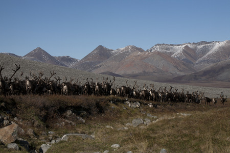 herd of deer: A herd of deer running in the mountains. Ridge Cherskiy. Yakutia. Russia.