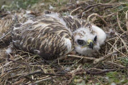 zopilote: Áspero-legged Buzzard, polluelo de halcón en el nido. mar de Laptev. Yakutia. Rusia.