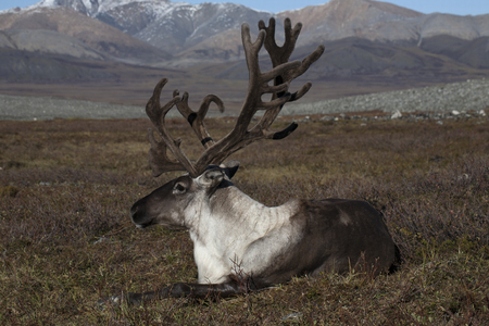 repose: Deer lying in the mountain tundra. Ridge Cherskiy. Yakutia. Russia.