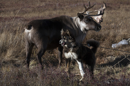energized: Home deer and a dog on a leash. Yakutia. Russia.