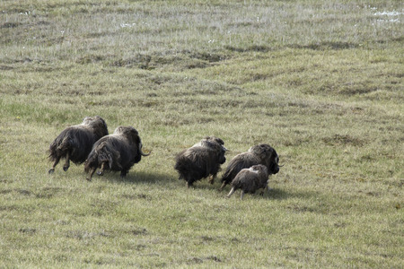 oxen: A small herd of musk oxen running around on the tundra. The coast of the Laptev Sea. Yakutia. Russia. Stock Photo