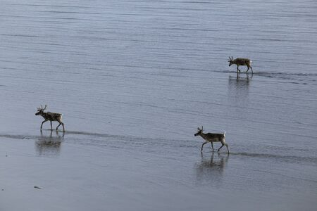 Deer wandering the marine shallows at low tide. Laptev sea. Yakutia. Russia.