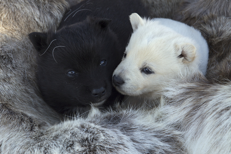cosily: White and black puppy lying on the skin. Reindeer camp in Moma ridge. Yakutia. Russia.
