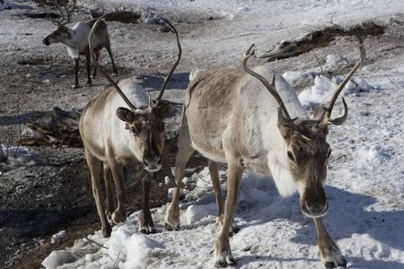 displacement: Herds of deer in the snow. Moma Mountains. Yakutia. Russia.
