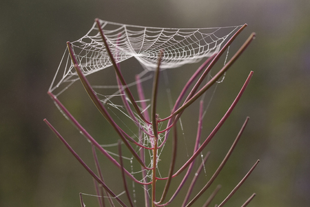 lena: Cobweb on the stems of willow-herb. Lena river. Yakutia. Russia. Stock Photo