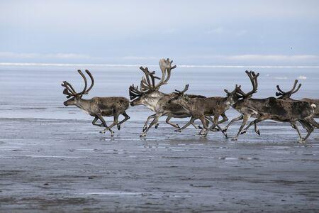 A herd of deer running on the sea shelf. Laptev Sea, Yakutia, Russia.