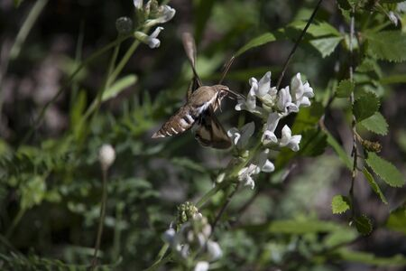 hyles: Hyles collecting nectar from a flower. Insect in flight. Yakutia. Stock Photo