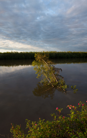 deluge: Larch drowning in the river. Indigirka River. Yakutia. Russia.