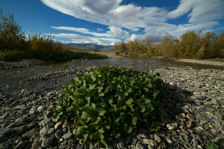 Green aquatic plants in the river bed. River Paypudyna. Polar Urals. Russia.