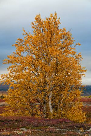 urals: Yellowed birch on a background of cloudy sky. Polar Urals. Russia.