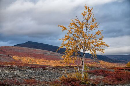 urals: Lonely yellowed birch in autumn mountains. Polar Urals. Yamalo-Nenets Autonomous District. Russia.
