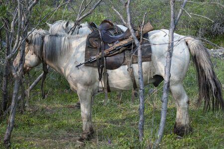 Two white horses under saddle. Moma Mountains. Yakutia. Russia.