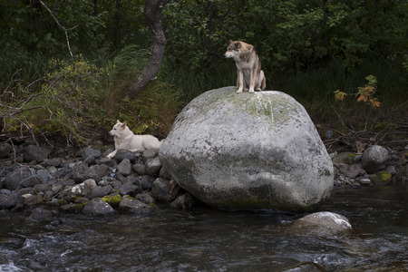 Two dogs on the rocks by the river. The Koni Peninsula. Magadan oblast. Russia. Stock Photo