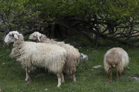 Group of sheep grazing under a tree. Of North Ossetia. North Caucasus.