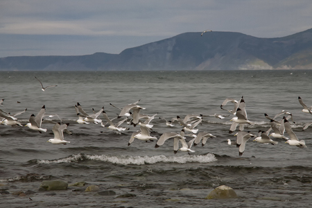 squad: A flock of seagulls over the sea. The sea of Okhotsk, Koni Peninsula, Magadan region.
