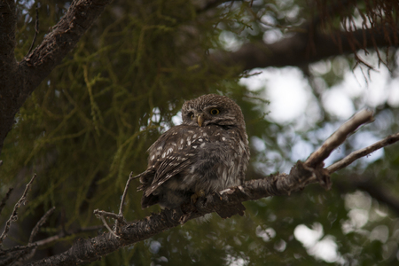 Little owl on a tree branch. Patagonia. Chile. Stock Photo