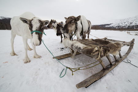 Several deer tethered to the sled. Polar Urals. Russia.