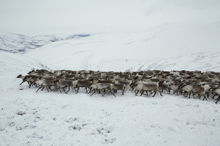 A herd of deer in the snowy mountains. Polar Urals. Yamalo-Nenets Autonomous Okrug. Foto de archivo