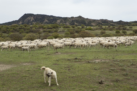 Flock of sheep and a herding dog. Vashlovani protected areas in Georgia.