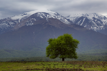 Green lonely tree on a background of mountains. Of North Ossetia. Russia.