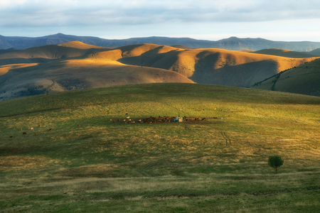 A herd of cows on the mountain meadows of the Caucasus. Karachay-Cherkessia.